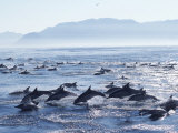 Large School of Common Dolphins Feed on Sardines, False Bay, W Cape, S Africa (Delphinus) Print by Mark Carwardine