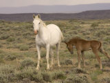 Mustang / Wild Horse, Grey Mare with Colt Foal Stretching, Wyoming, USA Adobe Town Hma Photographic Print by Carol Walker