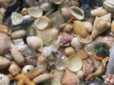 Sea Shells on the Sea Shore, Florida, USA Posters by Lynn M. Stone