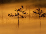 Scots Pines, in Morning Mist, Finland Photographic Print by Staffan Widstrand