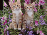 Two Domestic Ginger Kittens (Felis Catus) Surrounded by Flowers Print by Jane Burton
