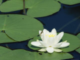 White Water Lily, Switzerland Photographic Print by Rolf Nussbaumer