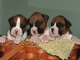 Three Boxer Puppies, USA Print by Lynn M. Stone