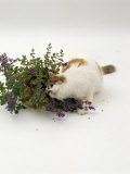 Domestic Cat, Tortoiseshell-And-White Rubbing Herself on Flowering Catmint / Catnip Photographic Print by Jane Burton