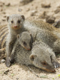 Banded Mongoose and Young, Etosha National Park, Namibia Photographic Print by Tony Heald