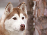 Siberian Husky Portrait, USA Posters by Lynn M. Stone