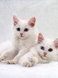 Domestic Cat, White Semi-Longhair Turkish Angora Kittens, One with Odd Eyes Posters by Jane Burton