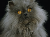 Domestic Cat, Blue Persian Longhair Posters by Jane Burton