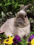 Netherland Dwarf Domestic Rabbit, USA Photographic Print by Lynn M. Stone