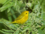 Yellow Warbler, Male, South Padre Island, Texas, USA Papier Photo par Rolf Nussbaumer