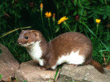 Weasel (Mustela Nivalis) Europe Print by Reinhard 
