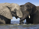Two African Elephants Playing in River Chobe, Chobe National Park, Botswana Fotodruck von Tony Heald