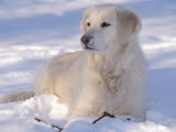 Golden Retriever Lying in Snow, USA Prints by Lynn M. Stone