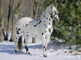 Appaloosa Horse in Snow, Illinois, USA Premium Photographic Print by Lynn M. Stone