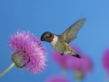 Ruby Throated Hummingbird, Feeding from Flower, USA Prints by Rolf Nussbaumer