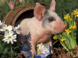 Domestic Piglet in Barrel, Mixed-Breed Fotografie-Druck von Lynn M. Stone