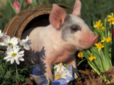 Domestic Piglet in Barrel, Mixed-Breed Premium Photographic Print by Lynn M. Stone