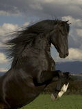 Black Peruvian Paso Stallion Rearing, Sante Fe, NM, USA Affiches par Carol Walker