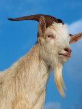 Domestic Goat Head Portrait, Europe Fotografisk tryk af Reinhard
