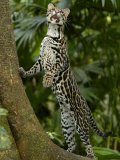 Ocelot (Felis / Leopardus Pardalis) Amazon Rainforest, Ecuador Photographic Print by Pete Oxford