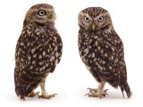 Pair of Little Owls Print by Jane Burton