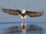 African Fish Eagle Fishing, Chobe National Park, Botswana Prints by Tony Heald