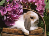 Holland Lop Eared Rabbit in Basket, USA Photographic Print by Lynn M. Stone