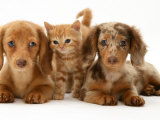 Miniature Long-Haired Dachshund Puppies with British Shorthair Red Tabby Kitten Photographic Print by Jane Burton