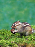 Siberian Chipmunk Prints by  Steimer