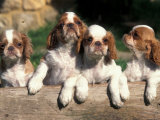 Four King Charles Cavalier Spaniel Puppies with Log Poster by Adriano Bacchella