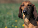 Smooth / Short-Haired Segugio Italiano Hound Portrait Photographic Print by Adriano Bacchella