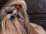 Shih Tzu Portrait with Hair Tied Up, Head Tilted to One Side Photographic Print by Adriano Bacchella
