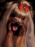 Yorkshire Terrier with Hair Tied up and Panting Poster by Adriano Bacchella