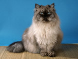 Colorpoint Persian Cat Photographic Print by Petra Wegner