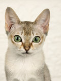 Head Portrait of Singapura Cat Photographic Print by Petra Wegner