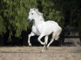 Grey Andalusian Stallion Cantering in Field, Ojai, California, USA Photo by Carol Walker