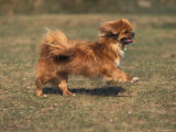Tibetan Spaniel Running Photo by Adriano Bacchella