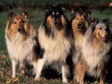 Domestic Dogs, Four Rough Collies Sitting Together Prints by Adriano Bacchella