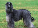 Grey Afghan Hound Body Portrait Photo by Adriano Bacchella