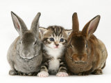 Tabby Kitten Between Two Rabbits Photographic Print by Jane Burton