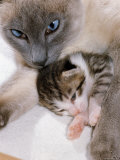 Domestic Cat, Cross Bred Tabby Kitten with Siamese Mother Posters by Jane Burton