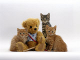 Domestic Cat, Two Ginger Kittens and a Tabby with Ginger Teddy Bear Photographic Print by Jane Burton