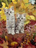 Domestic Cat, 8-Week, Silver Tabby Kittens Among Heather and Autumnal Leaves Print by Jane Burton