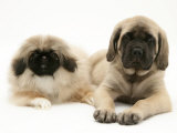 Pekingese and English Mastiff Puppies Photographic Print by Jane Burton