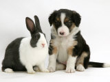Tricolour Border Collie Puppy with Blue Dutch Rabbit Posters by Jane Burton