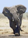 African Elephant, Charging, Etosha National Park, Namibia Fotodruck von Tony Heald