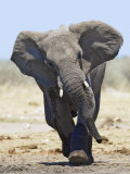 African Elephant, Charging, Etosha National Park, Namibia Print by Tony Heald
