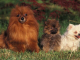 German Spitz (Klein) with Two Puppies Photographic Print by Adriano Bacchella