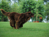 Brown Newfoundland Dog Running Psters por Adriano Bacchella