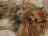 Yorkshire Terrier Lying on Its Back with Hair Tied up and Very Long Hair Posters by Adriano Bacchella